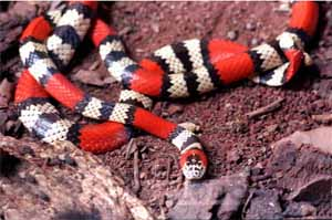 Cobra-coral