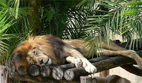 Leão cansado
