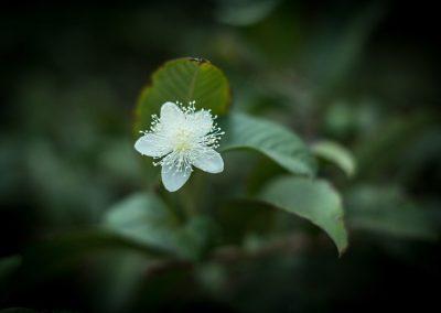 Flor de goiabeira, indicador de frutas num futuro próximo