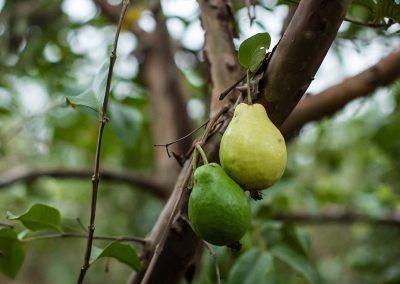 """Goiabas podem ser comercializadas verde, madura ou """"polpa"""", quando já amadureceram demais"""